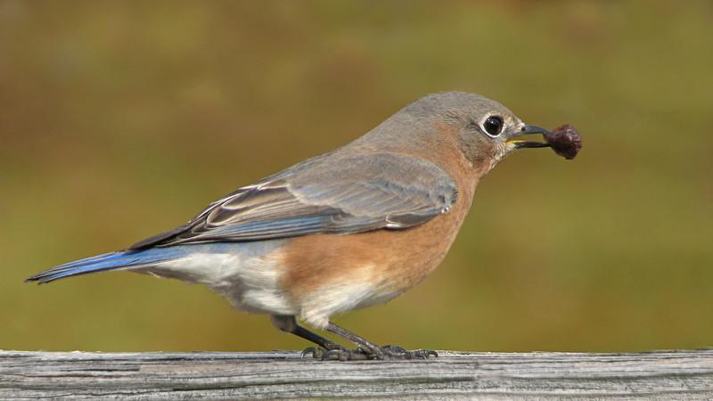 bluebird_8624.jpg