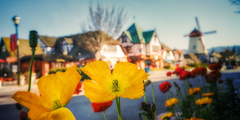 Solvang Poppies
