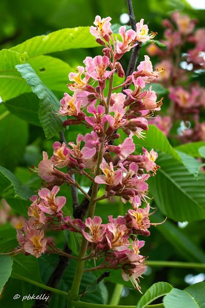 buckeye flower 052118-1.jpg