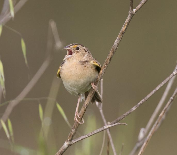 Grasshopper Sparrow Penesquitos Canyon 2019 04 06-2.CR2