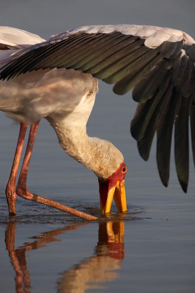 Yelllow billed stork - 1315.jpg