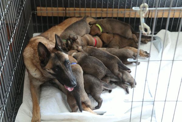 Nia's 11  puppies 2 1/2 weeks old