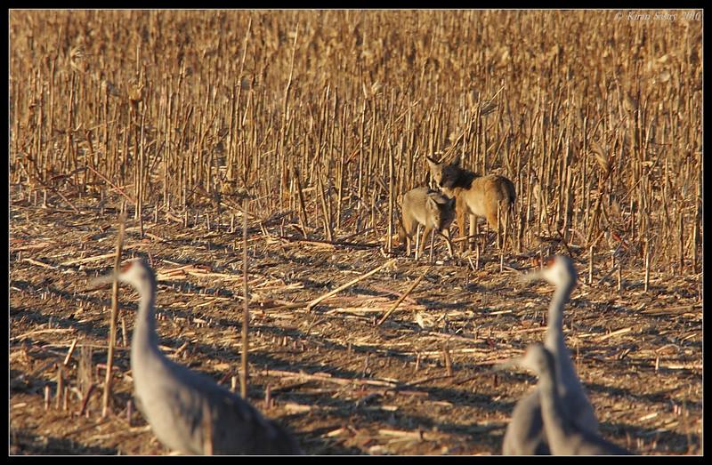 Coyotes stalking the sandhill cranes, Bosque Del Apache, Socorro, New Mexico, November 2010
