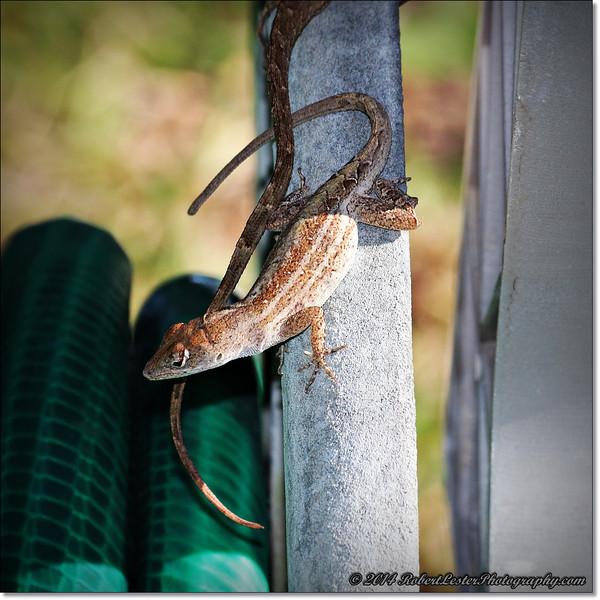 2014-06-06_IMG_0859__Anole Lizard,Clearwater,Fl..JPG