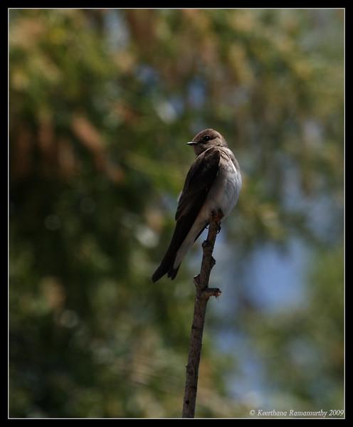 Northern Rough-winged Swallow, Santee Lakes, San Diego County, California, May 2009