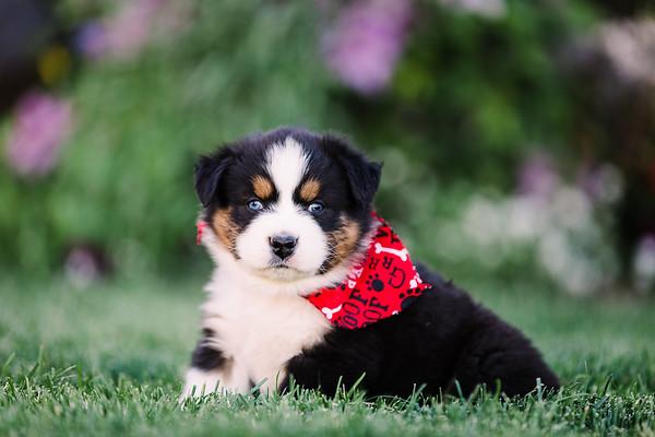 Jackie Walton - Standard Australian Shepherd Puppies 6/2019