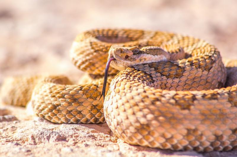Midget faded rattlesnake (Crotalus oreganus concolor), Grand County, Utah