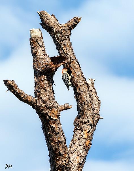 woodpecker_DSC8153-copy.jpg