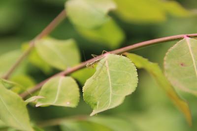 Baby Preying Mantis 20130609