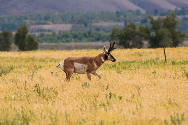 Pronghorn, male