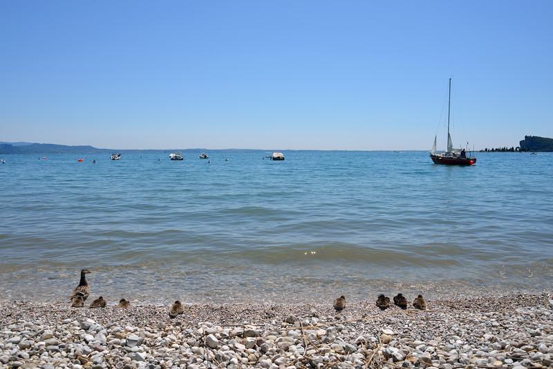 Ducks - Lake Garda, San Felice del Benaco, Brescia, Italy - June 30, 2013