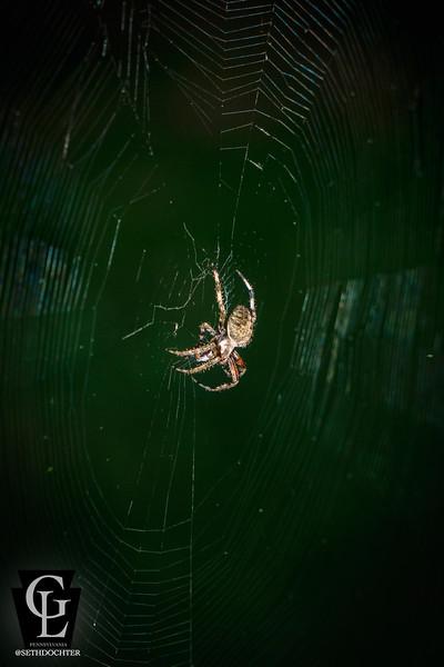 spider - sitting on web (p,b).jpg