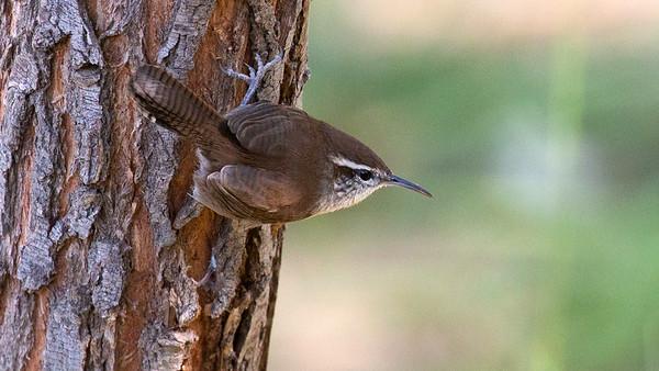 STA Birds 10 - Wrens, Gnatcatcher, Dipper, Kinglet & Wrentit