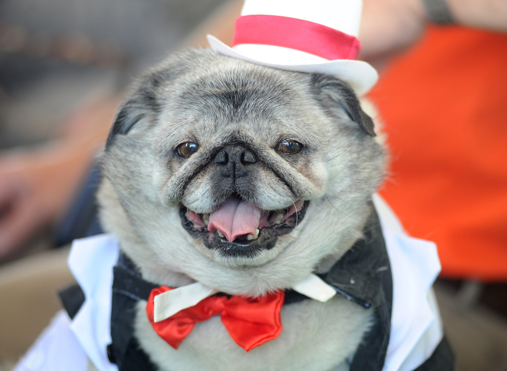 . Grovie, a pug in a tuxedo, awaits the start of The World\'s Ugliest Dog Competition in Petaluma, California on June 20, 2014.  Peanut, a mutt who is suspected of being a Chihuahua-Shitzu mix, won the competition and was voted the world\'s ugliest dog. (Josh Edelson/AFP/Getty Images)