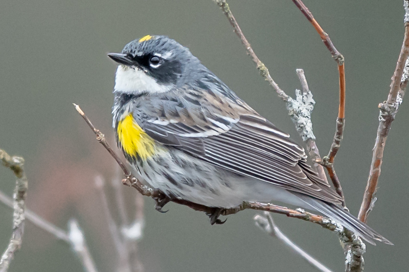 #YellowRumpedWarbler