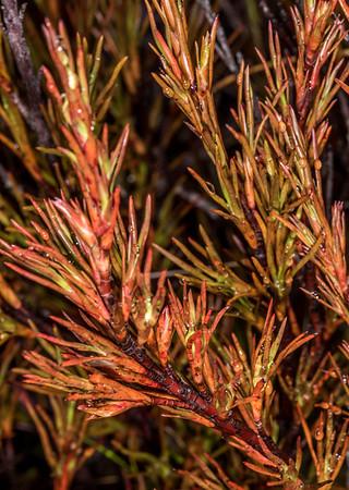 Common grass tree - Dracophyllum rosmarinifolium