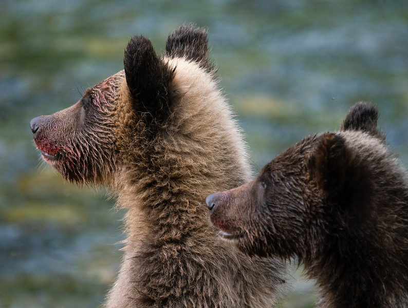 BC-Grizzly-Bears-09138-Edit.jpg