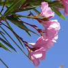 I'm not a big fan of oleanders but I liked the pink flowers against the blue sky.
