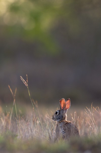 Cottontail ears are larger in the southern states; This helps dissipate heat better [April; Sick Dog Ranch near Alice, Texas]