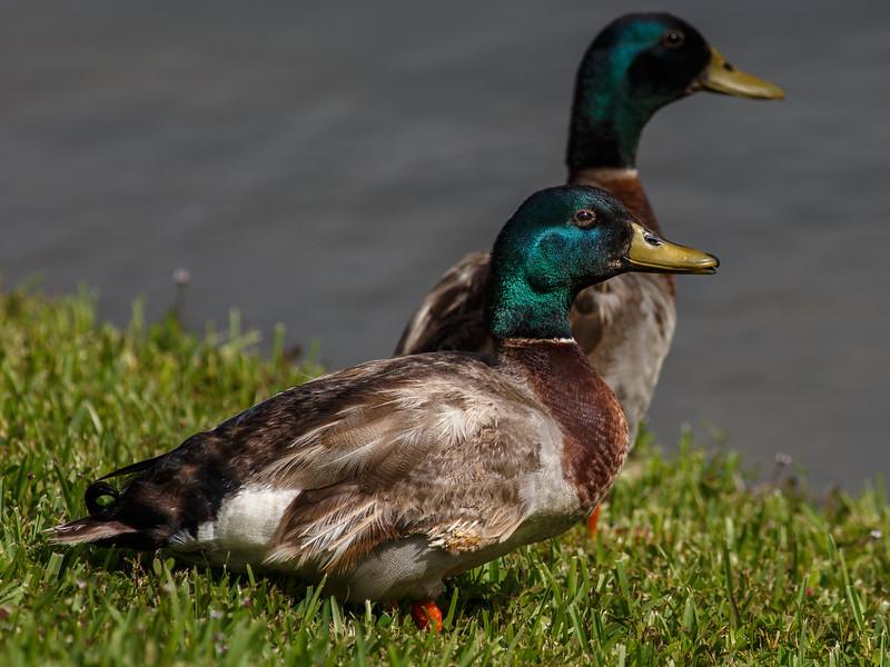 Mallard Duck-6831