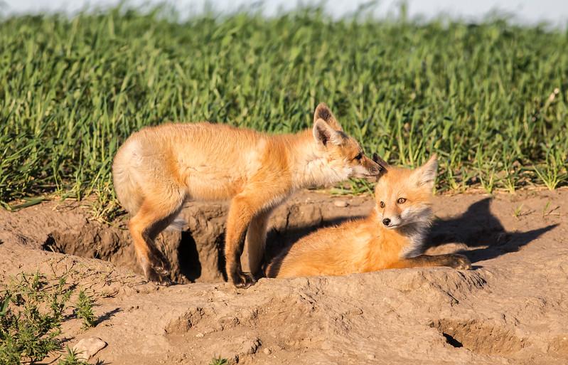 Fox Kits 2.jpg