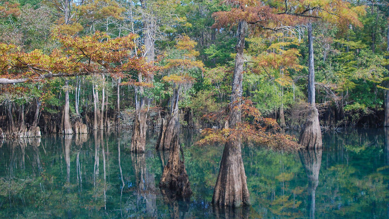 Fall colors on cypress trees