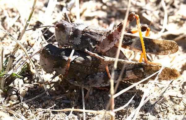 Spharagemon equale (Say's Grasshopper)