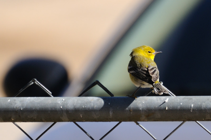 . . . and we've had a new visitor, a pine warbler . . .