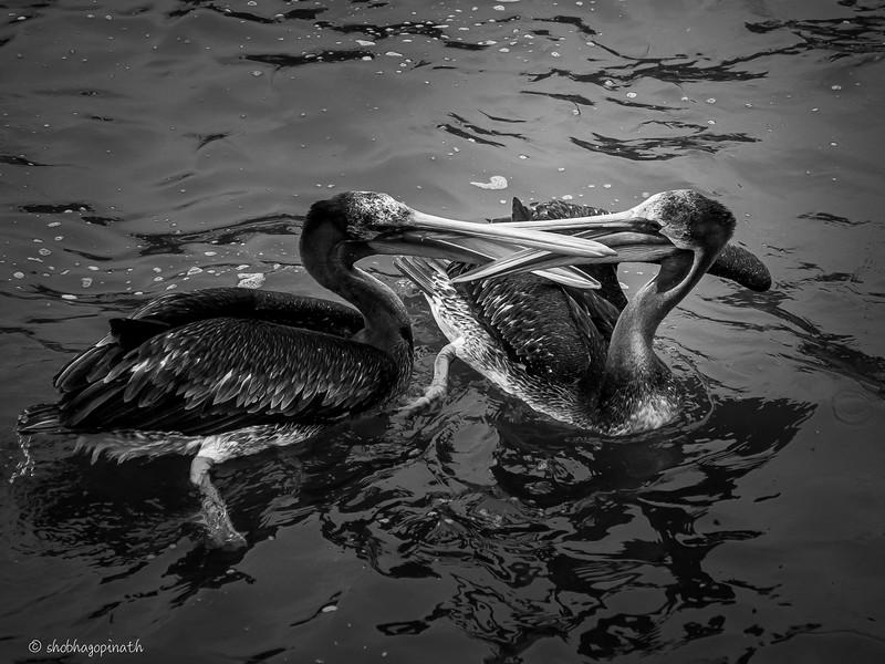 Squabbling pelicans