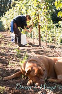 Harvest at Nemarniki Vineyards