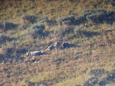 Male 113 on left, two wolf pups on right, through spotting scope. Contributed by Linda Seaman