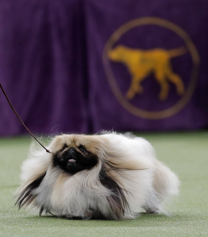 . Chuckie, a Pekingese, walks behind his handler during the Best in Show competition at the 141st Westminster Kennel Club Dog Show, Tuesday, Feb. 14, 2017, in New York. (AP Photo/Julie Jacobson)