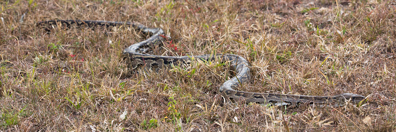 This 15-foot African Python decided to join us for lunch!