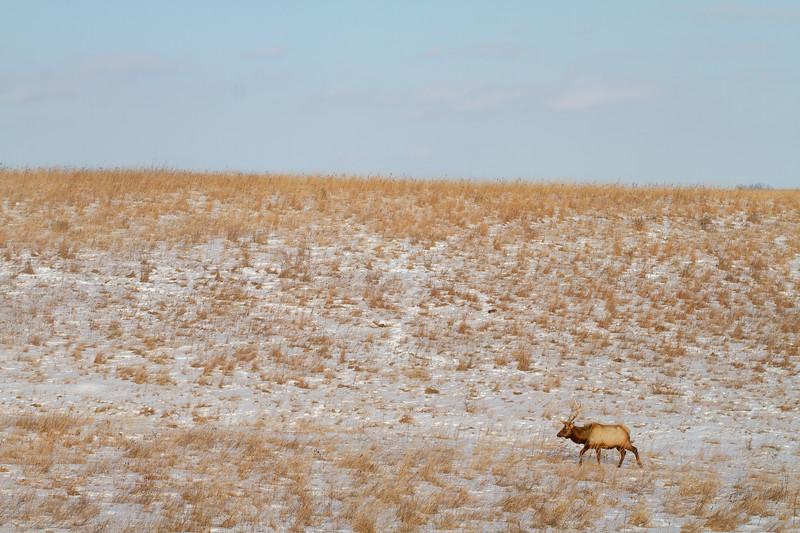 Elk bull Neal Smith National Wildlife Refuge NWR Prairie City IA IMG_2227.jpg