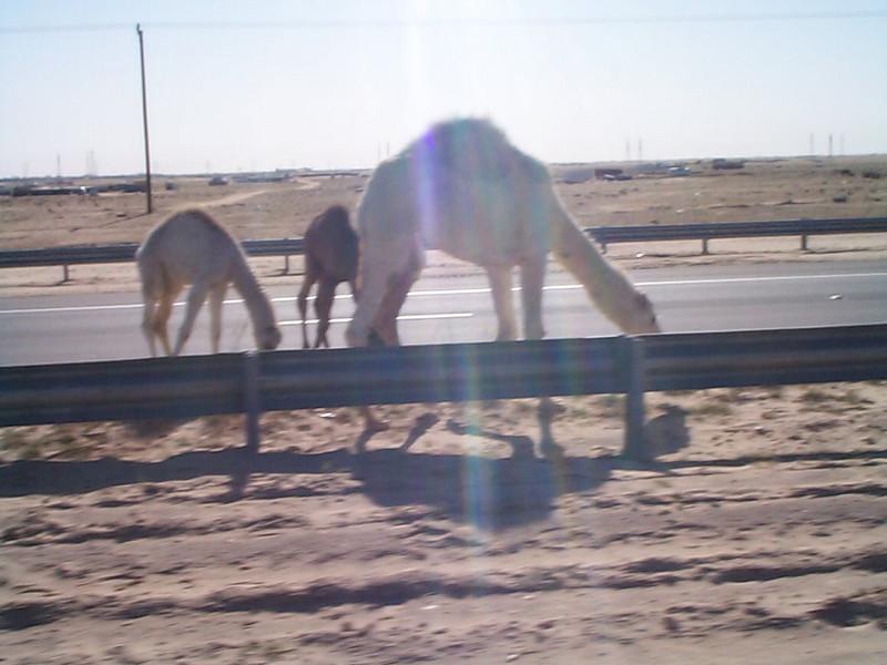 Camel crossing2.jpg