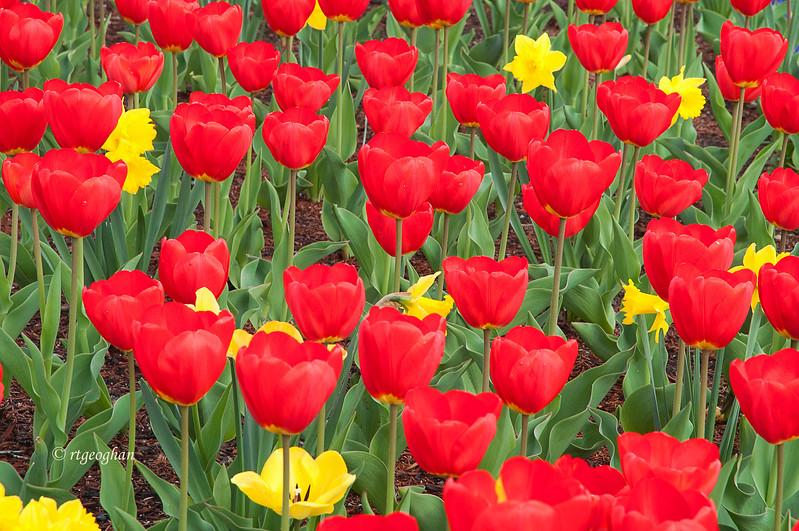April 24_Red Tulipshp_0263.jpg