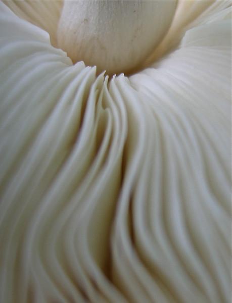 Agaricus or Lepiota sp.