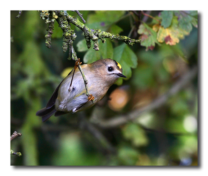 Goldcrest copy.jpg