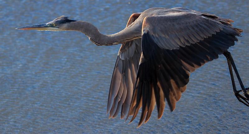 aaAnahuac 12-9-16 335A, Great Blue Heron flight.jpg