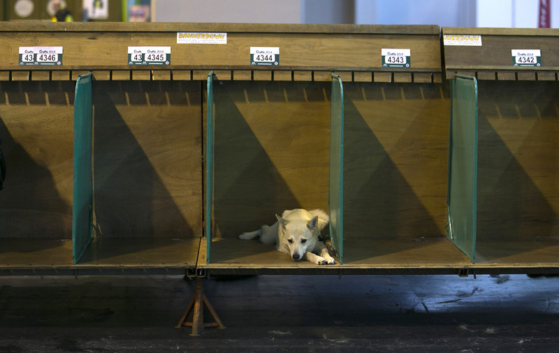 . A dog rests in its kennel at the end of the first day of Crufts dog show at the NEC on March 6, 2014 in Birmingham, England. Said to be the largest show of its kind in the world, the annual four-day event, features thousands of dogs, with competitors travelling from countries across the globe to take part. Crufts, which was first held in 1891 and sees thousands of dogs vie for the coveted title of \'Best in Show\'.  (Photo by Matt Cardy/Getty Images)
