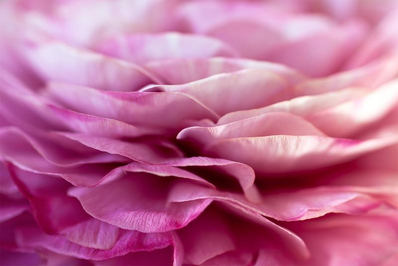 pink-ranunculus.jpg