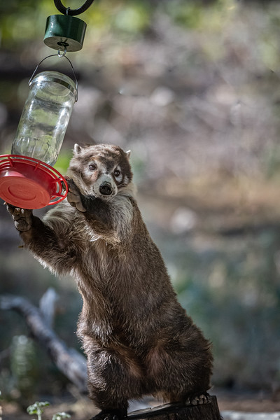 Coatimundi with the feeder 3