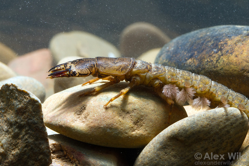 This larval dobsonfly was collected in the Caves Branch River and photographed in an on-site studio aquarium. Note the gills along the side of the abdomen.