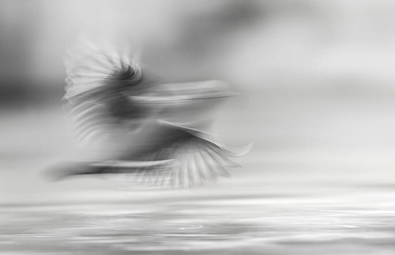 dipper flight blur.jpg