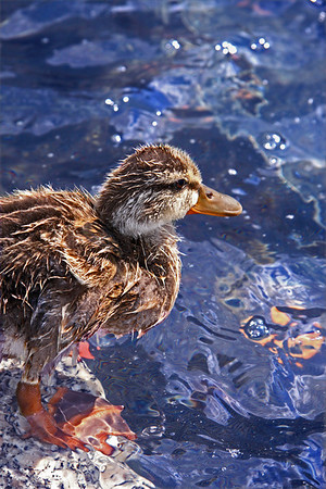Ducklings7-07