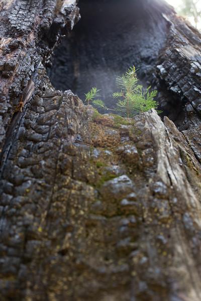 Sequoia_0517.jpg