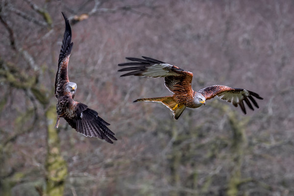 Red Kites South Wales