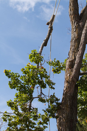 Taking Down the Maple Tree
