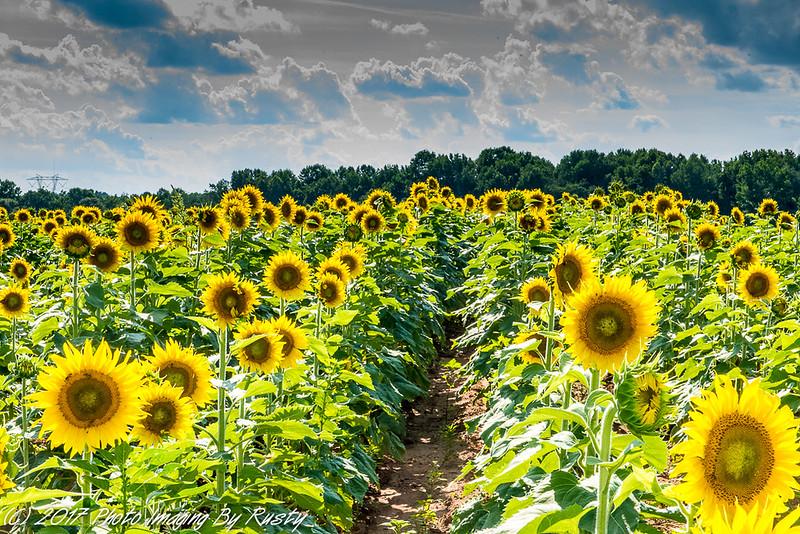 Sun Flowers-11.JPG