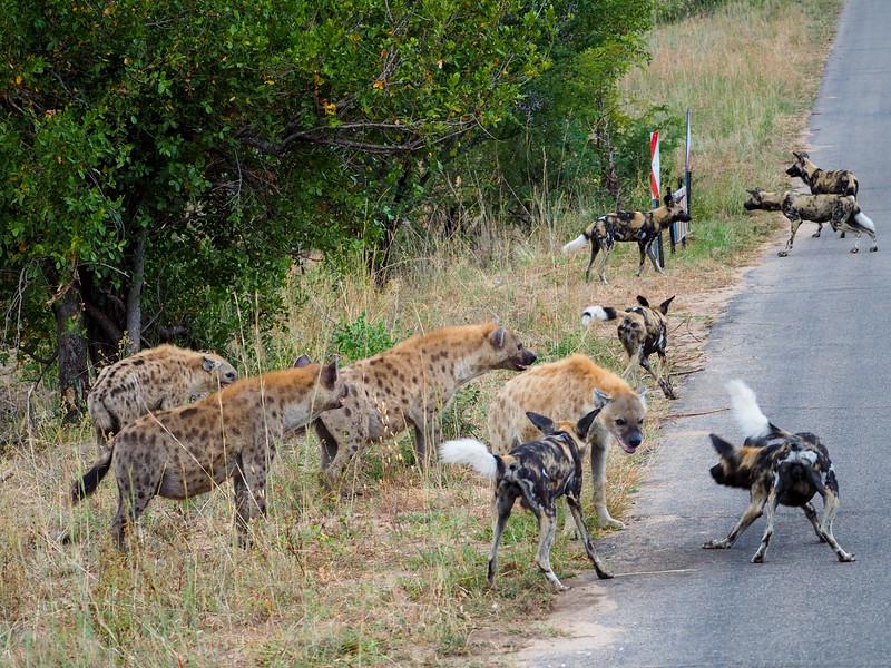 Wild dogs vs. hyenas in Kruger